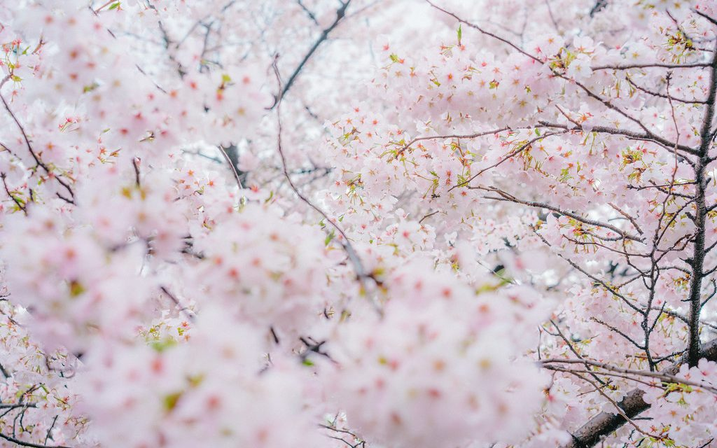 Sakura Season Around the World