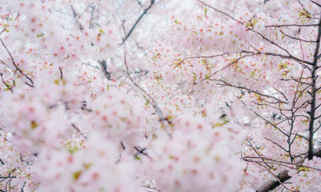 Sakura Season Around the World
