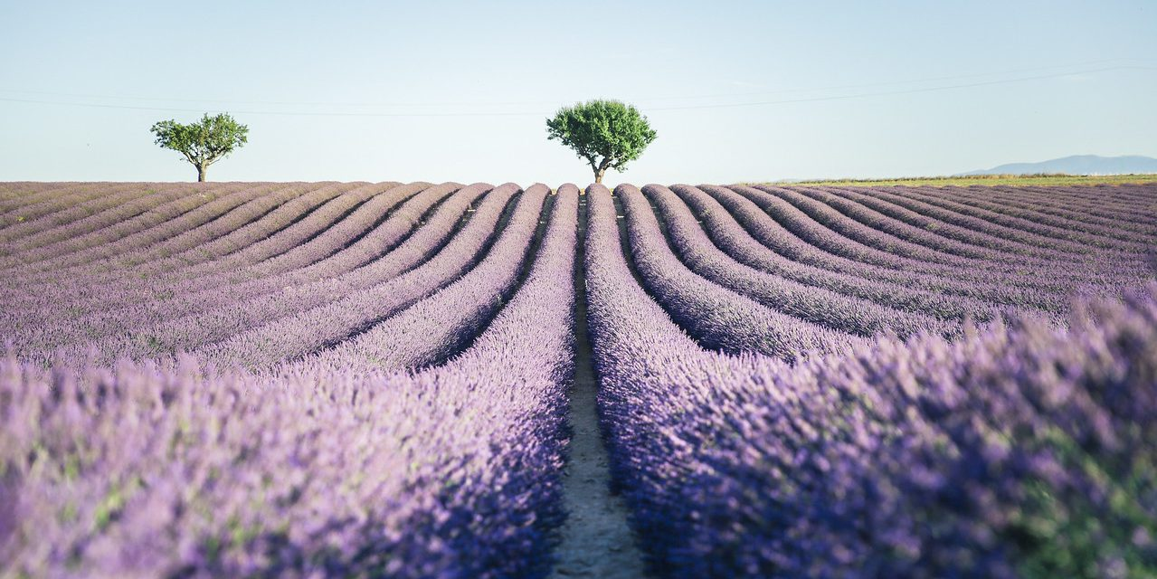 5 Things to Know Before Visiting France During Lavender Season