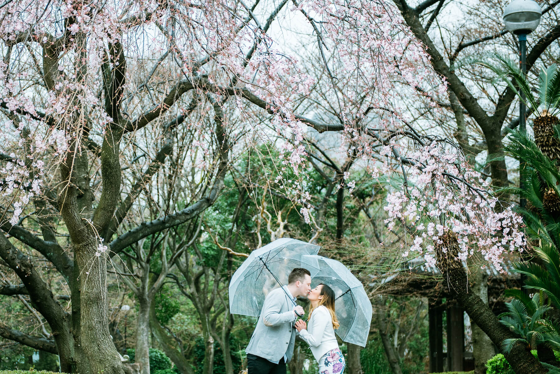 couple standing under cherry blossom tree with clear umbrellas as it's raining in Tokyo, Japan