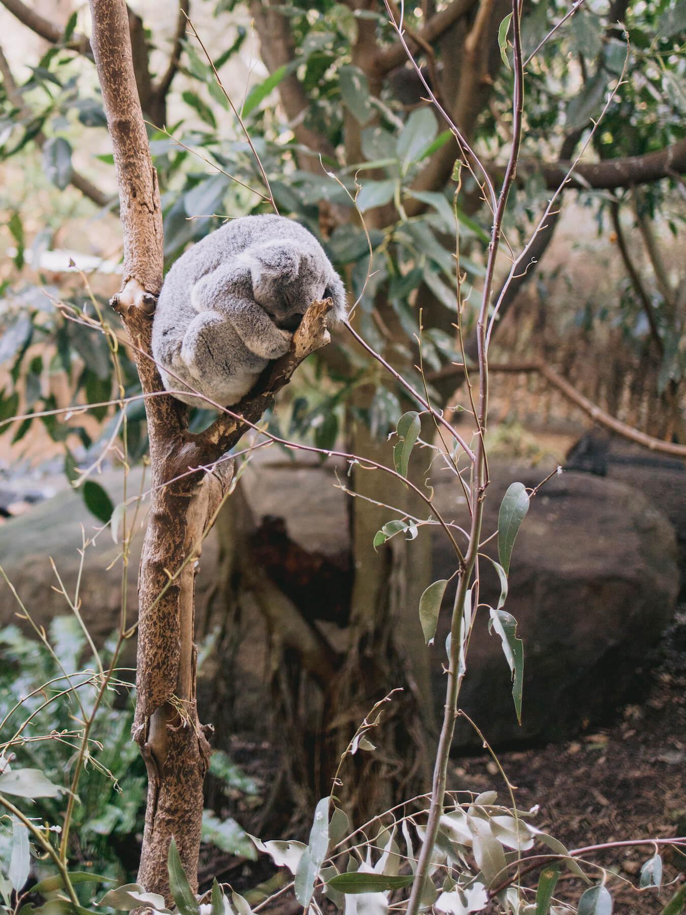 Koala bear in Sydney Australia