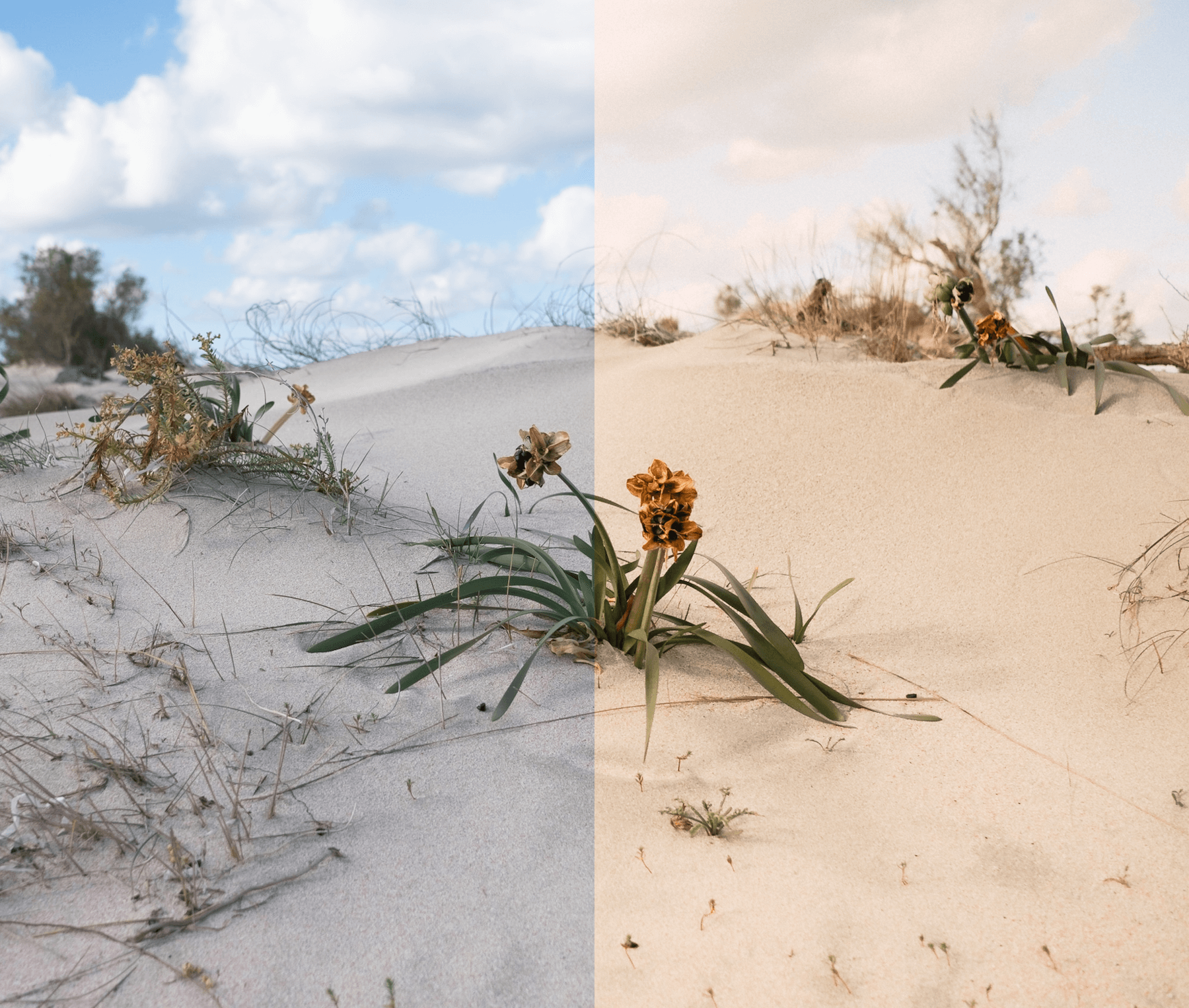 Desert flower photo before and after preset